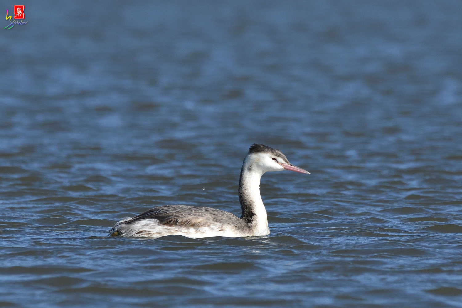 Crested_Grebe_6488