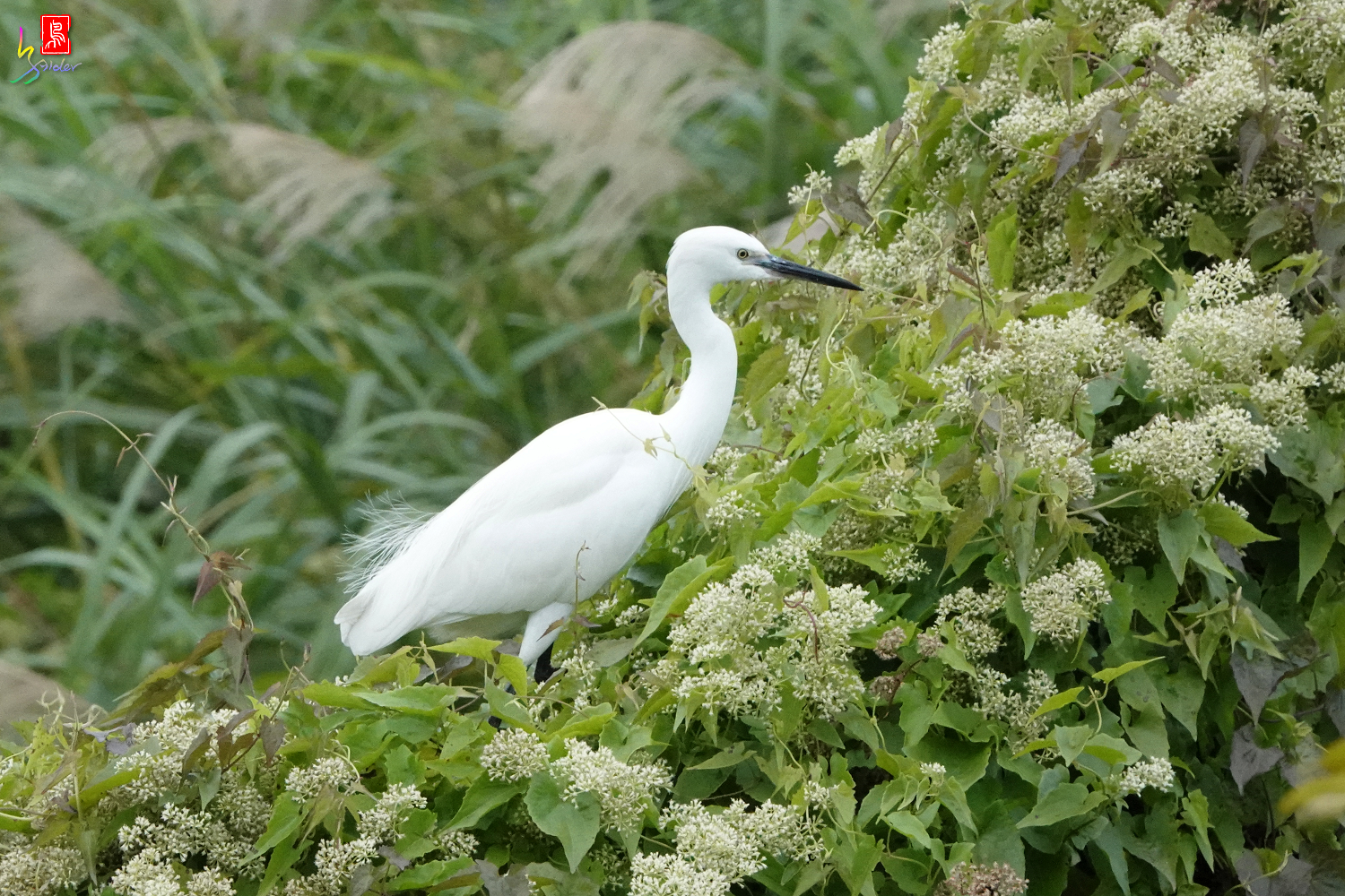 Little_Egret08307