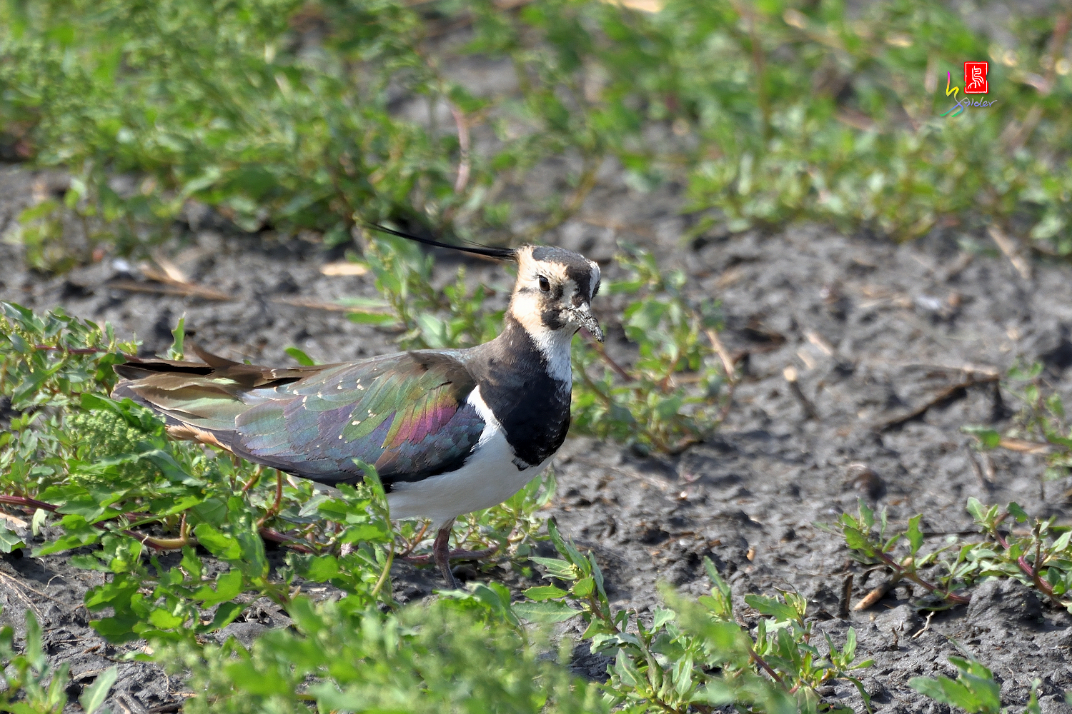 Nprthern_Lapwing_7200