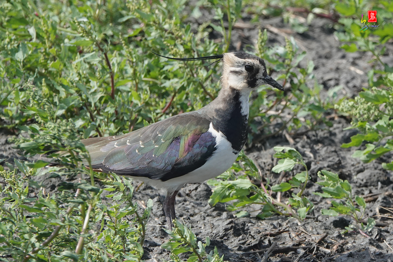 Nprthern_Lapwing08733