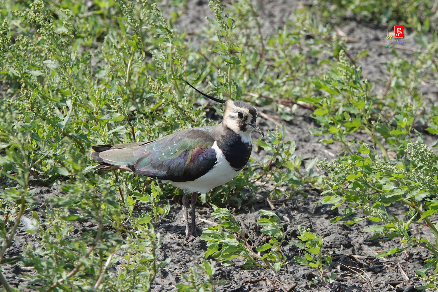 Nprthern_Lapwing08719