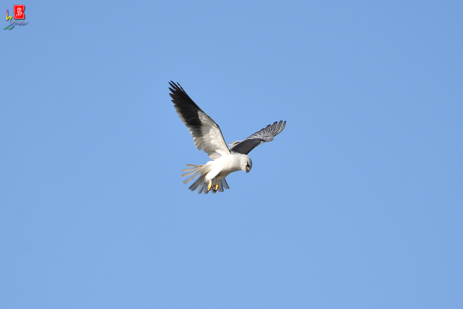 Black-winged_Kite_8182