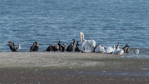 gull birds pelican cormorant