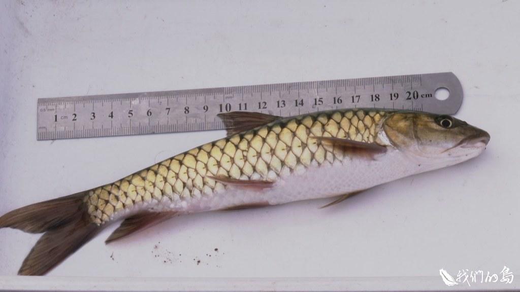 帶回實驗室做進一步檢測,解剖發現,魚虎愛吃的大多都是原生種的魚蝦。
