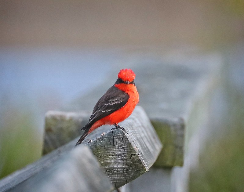 Friendly Vermilion Flycatcher