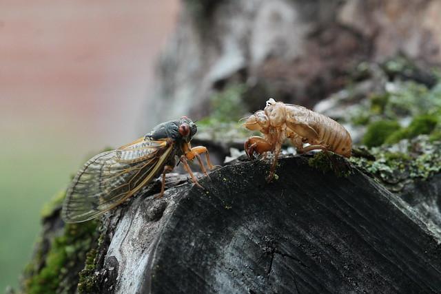 Cicada emergence in Oxford, Ohio