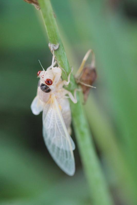 Cicada Emergence in Oxford Ohio