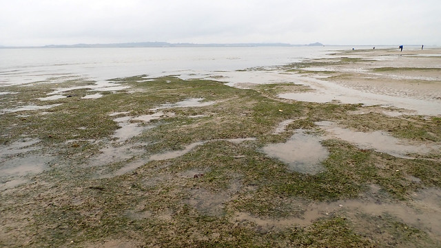 Dugong feeding trail in seagrass meadows, Chek Jawa Dec 2019