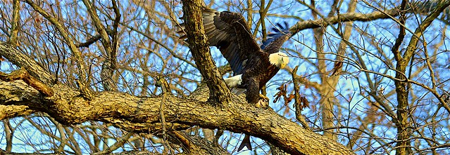 Eagle Struggles To Lift Large Fish