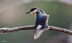 Juvenile Forest Kingfisher