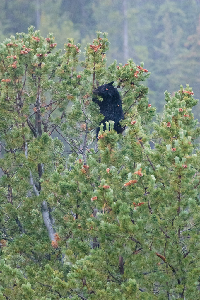 A black bear cub high in a tree eating pine cones at Yellowstone National Park on a rainy fall day in October 2006