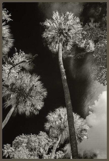 Blue Springs IR #40 2019; Sabal Palms