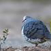 Columbidae - Wonga Pigeon