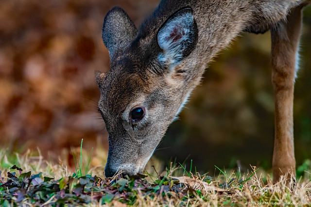 2019.12.14.8873 Front-Yard Deer