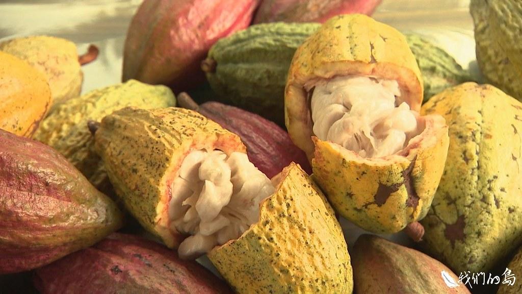 外表呈現繽紛色彩,有綠,有黃,有紅,剖開之後,裡面整齊排列著飽滿、潔白的可可豆。