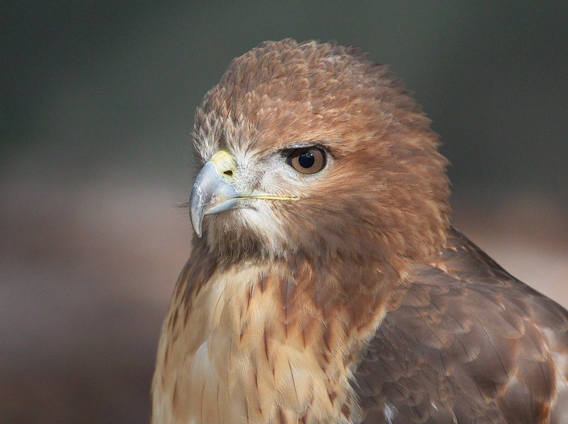 Close-up of a European Common Buzzard