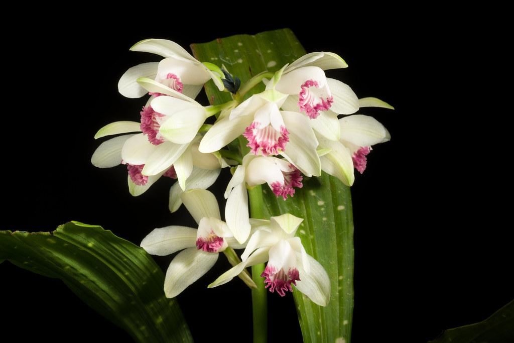[Japan] Phaius flavus fma. semi-alba, punctatus 'Hakuseiden - 白聖殿' (Blume) Lindl., Gen. Sp. Orchid. Pl.: 128 (1831)