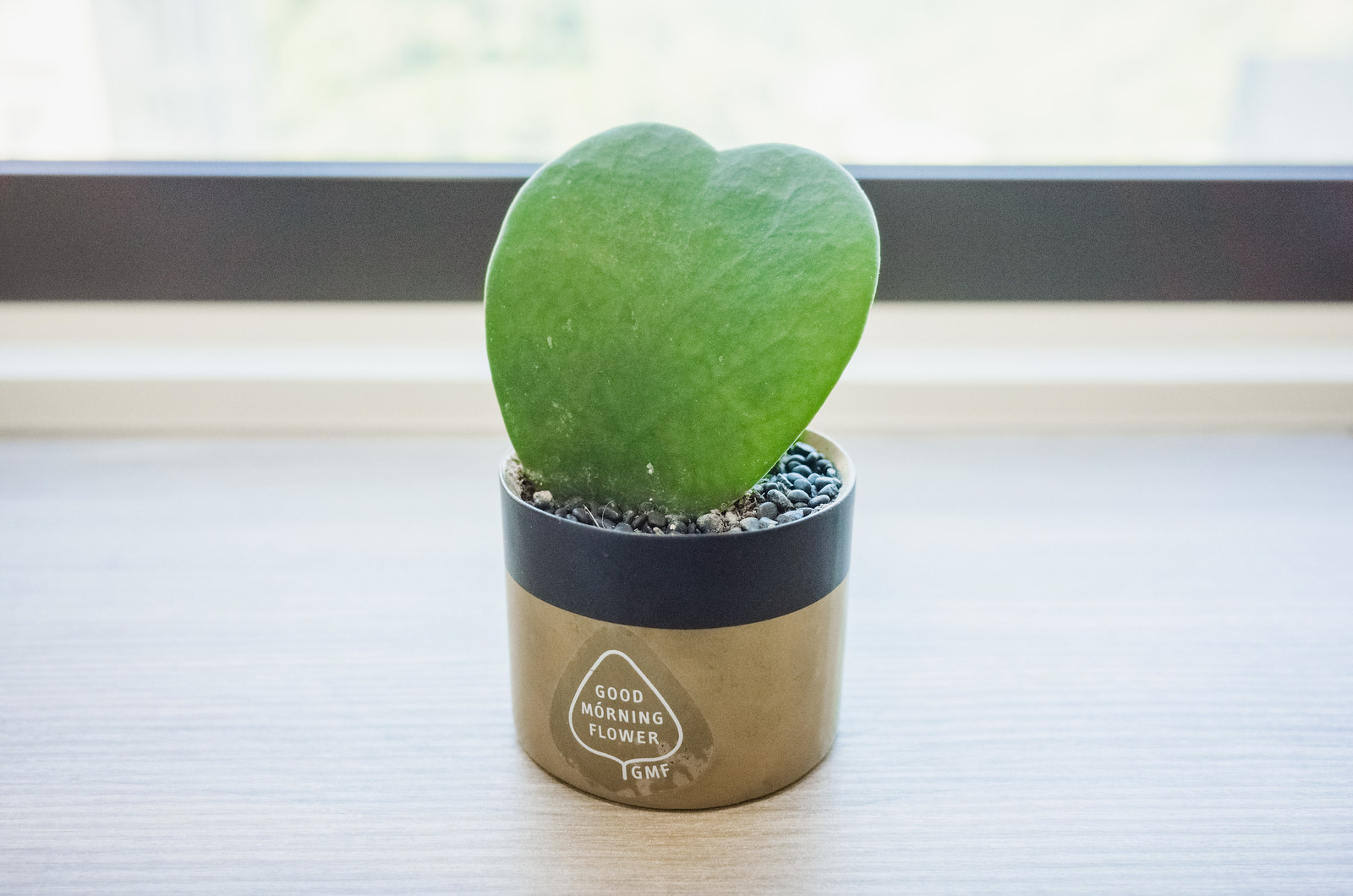 心葉球蘭(Hoya kerrii)