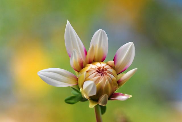 Dahlia flower bud
