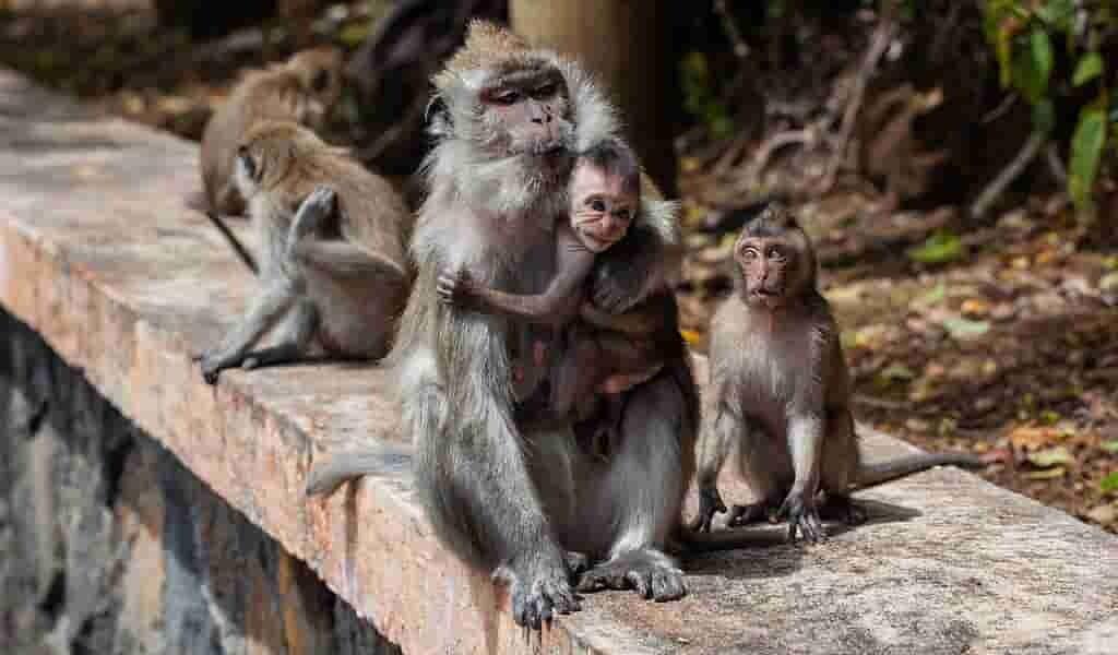 les-macaques-bactéries-rectaux-affectent-efficacité-du-vaccin-VIH