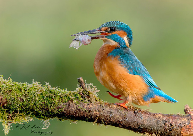 DSC1342  Kingfisher...