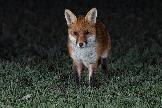 Freezing conditions don't stop these foxes, or me for that matter