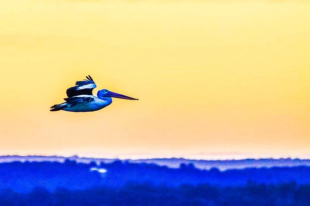 Last Light - Pelican in Flight