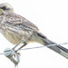 Sabiá do campo - Mimus saturninus- Chalk-browed Mockingbird
