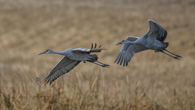 Sandhill Cranes  0621