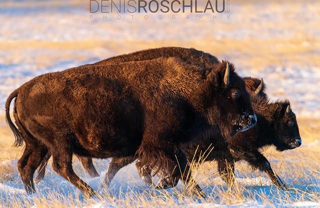 Bison running #explored
