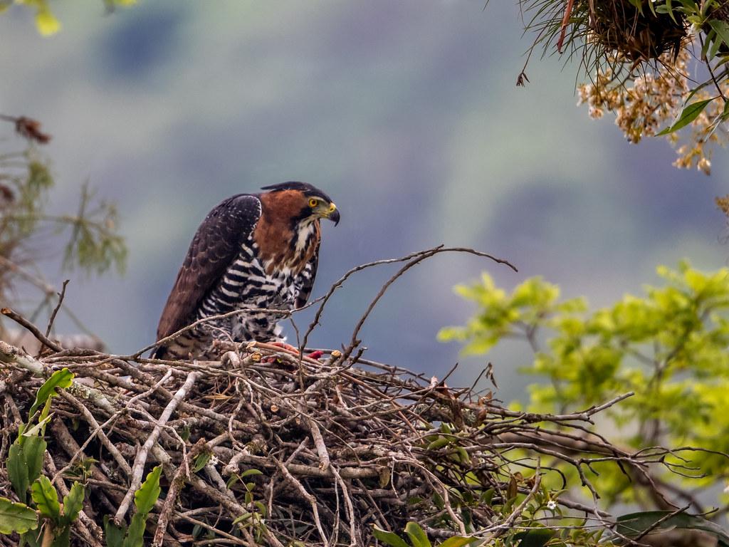 Ornate Hawk Eagle/Gavião-de-penacho/Águila crestuda real  (Spizaetus ornatus) female on nest