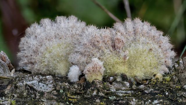 Gemeiner Spaltblättling (Schizophyllum commune) mit 2 Kugelspringern und einem Springschwanz - Collembola