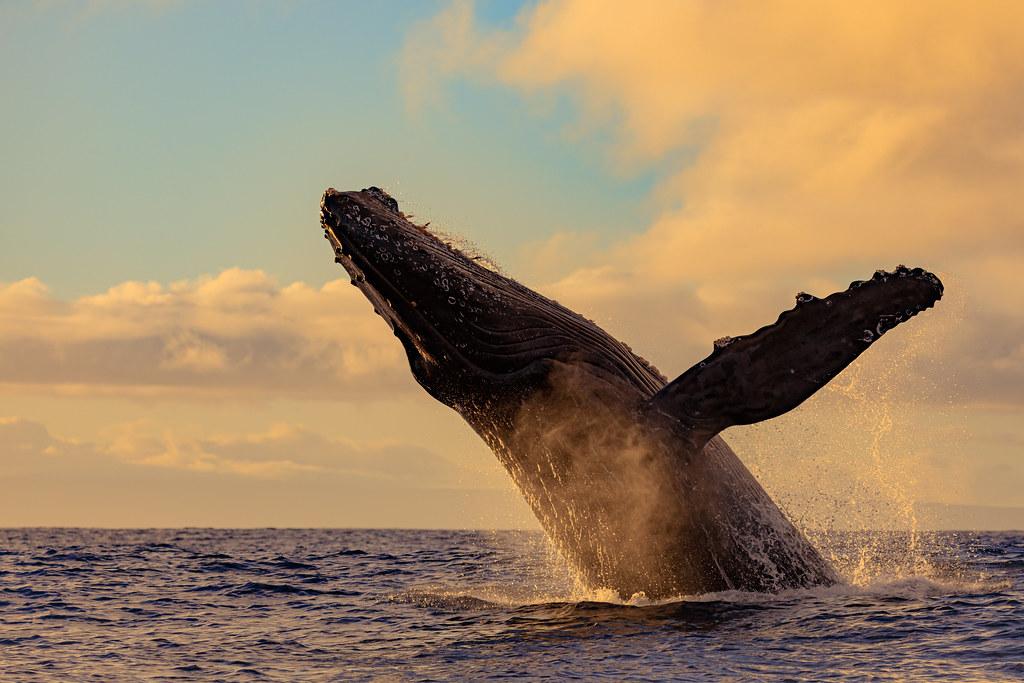 Humpback Whale Breach Close Encounter