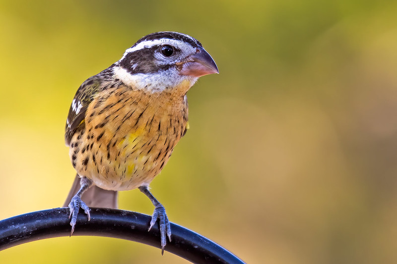 Black-headed-Grosbeak-44-7D2-082619