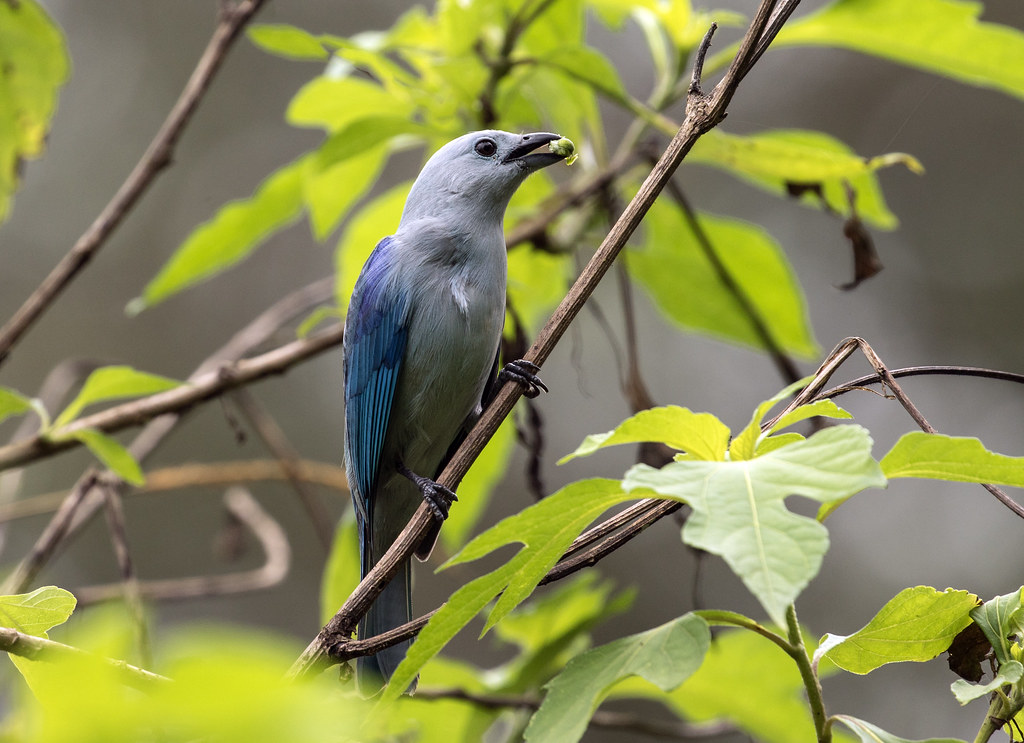 015A5635 Blue-gray Tanager