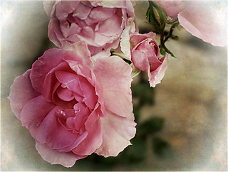 Antique Rose | by Jocelyn777 - Celebrating Europe