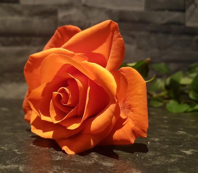 Light and Shade Rose Petals