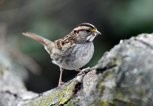 850_1158.jpg White-throated Sparrow