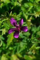 GERANIUM x oxonianum 'Cam Beauty'