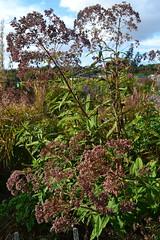 EUPATORIUM maculatum Atropurpureum Group 'Prairie Giant'