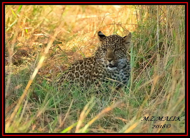 LEOPARD CUB (Panthera pardus) ...MASAI MARA.....SEPT 2018.