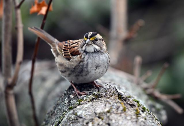 850_1146.jpg  White-throated Sparrow