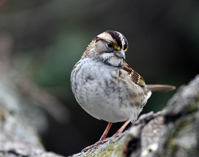 850_1126.jpg White-throated Sparrow