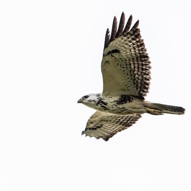 A not so common, common buzzard