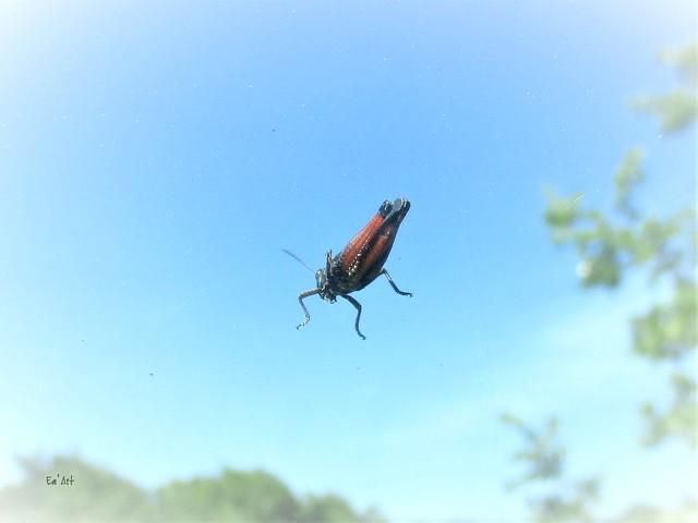 Sauterelle volante - Flying grasshopper