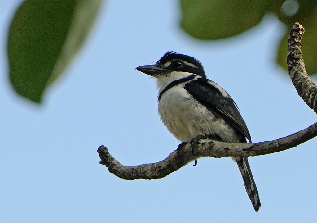 Bobo Coronado, Lesser Pied Puffbird (Notharchus subtectus) (Notharchus tectus) (Notharchus tectus subtectus)