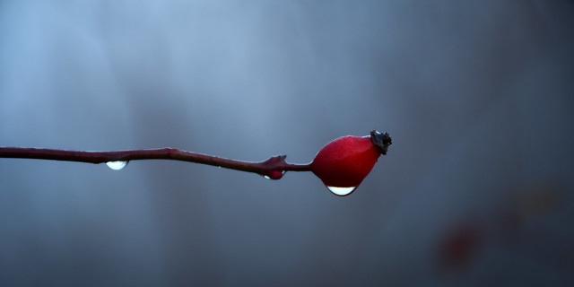 morning, raindrops and a rosehip