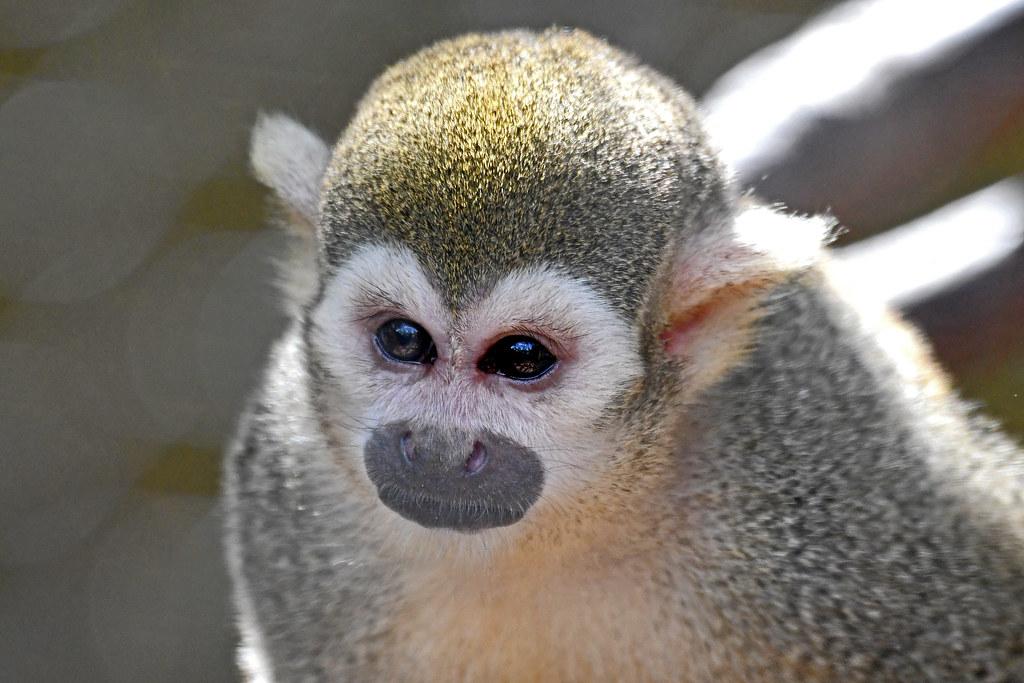 Common Squirrel Monkey (Elmwood Park Zoo)