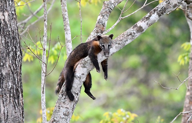 Such a 'Laid-back' Ring-tailed Coati!