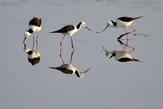 Black-winged Stilts_8043